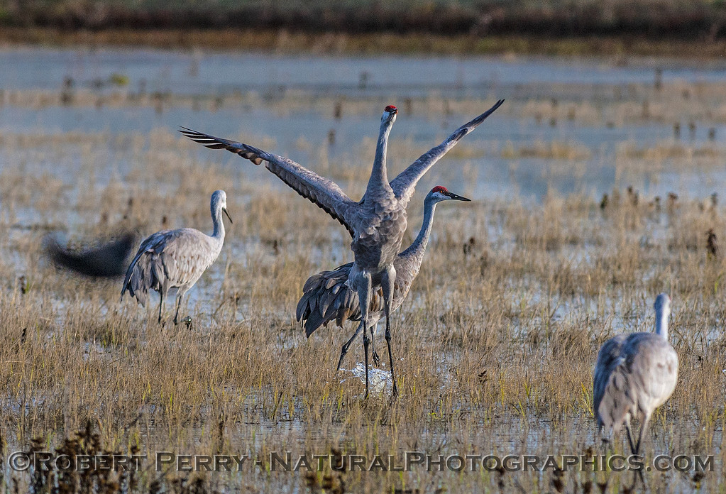 Sandhill cranes in the flooded fields.