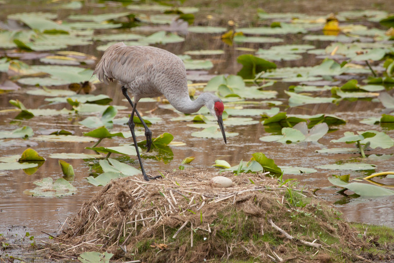 Sandhill crane on nest with one egg