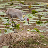 Sandhill crane on nest with one egg