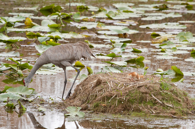 Sandhill crane at nest with one chick