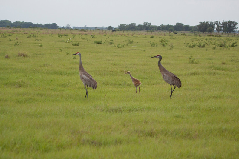 Family of Sandhill Cranes, two adults with one youngster