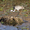 Sandhill crane at nest in the middle of a pond