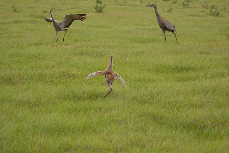Baby Sandhill crane with parents