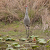 Sandhill crane guides young chick to the side of the pond