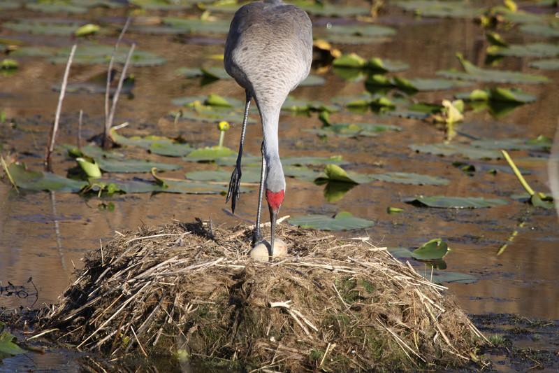Sandhill crane rolls the egg in the nest