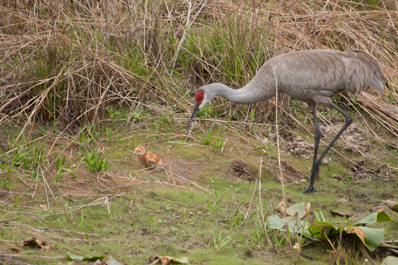 Sandhill crane with young chick to the side of the pond