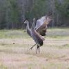 Sandhill Cranes courting in field