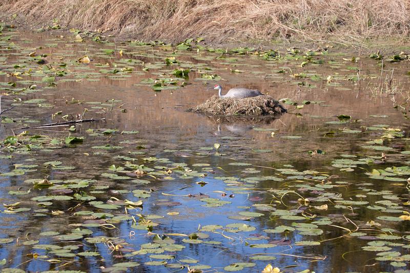 Sandhill crane sit on nest