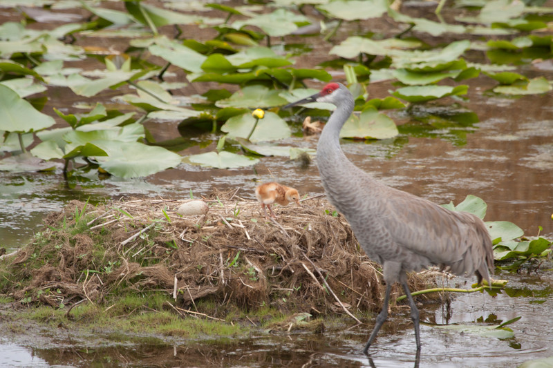 Sandhill crane at the nest with chick