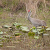 Sandhill Crane guides chick across the pond to the bank