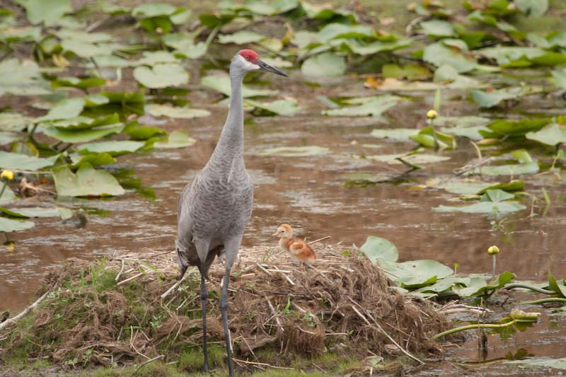 Sandhill crane on nest with one chick