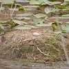 Nest of Sandhill crane wing one egg