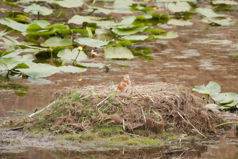 Baby Sandhill Crane chick watches for Mom to return