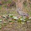 Sandhill crane guides chick across pond