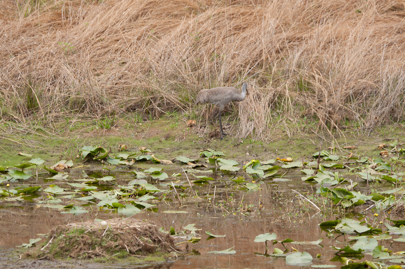 Sandhill crane with young chick