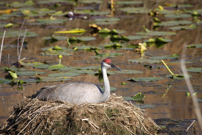 Sandhill crane sits on nest in the middle of a pond