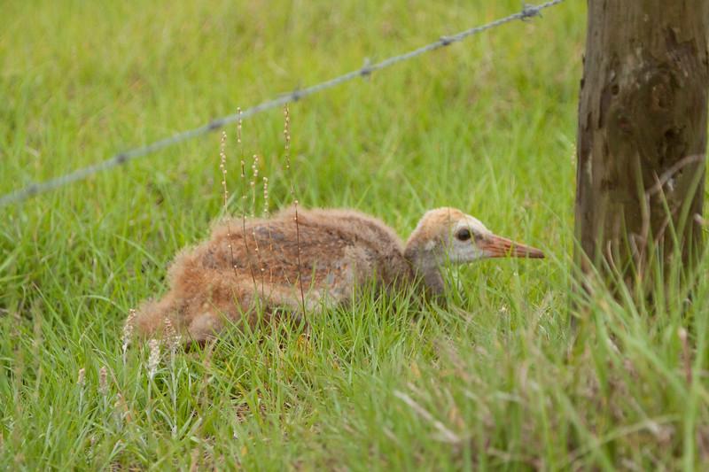 Baby Sandhill crane