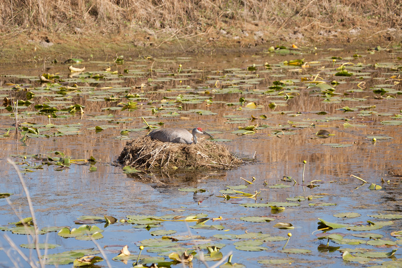 Sandhill crane sit on nest in the middle of a pond