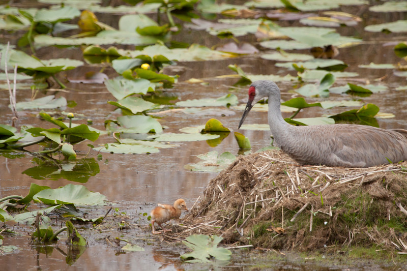Sandhill crane on nest with one chick