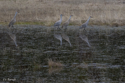Sandhill Cranes - Clinton, BC