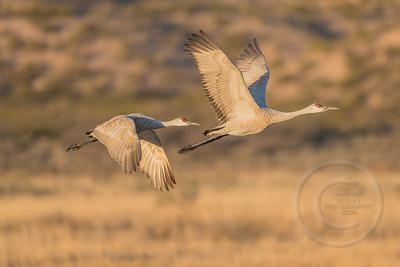 Sandhill Cranes Videos