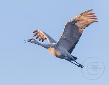 Crane Squawking