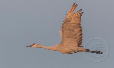 Sandhill Crane in Profile Wings Up
