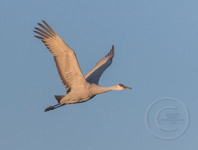 Crane Wings UP