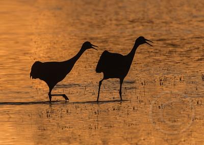 Squawking Cranes