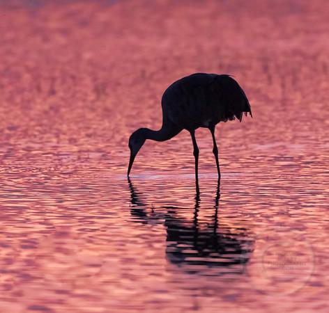 Sandhill Cranes Images