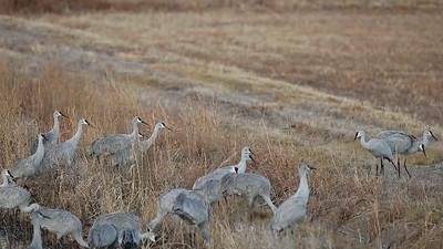 Sandhill Cranes Jump a Ditch