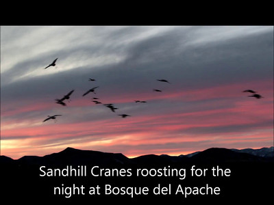 Sandhill Cranes Roosting at Bosque