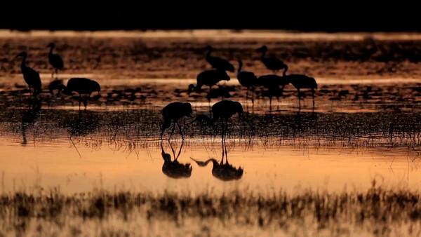 Sandhill Cranes Foraging Reflection in Golden Sunrise