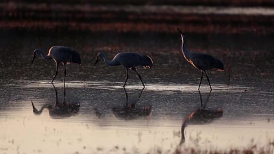 Three Sandhill Cranes Foraging at Sunrise