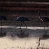 Three Sandhill Cranes Foraging at Sunrise