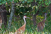 Two juvenile sandhill cranes move from a field into a forest.