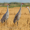 Sandhill Cranes Family