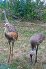 Two adult cranes and their baby routinely walked behind my grandfather's home for dried corn put out by his neighbor. They watched us but did not bolt when I took photos through the window.