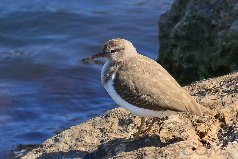 Spotted Sandpiper (b1901)