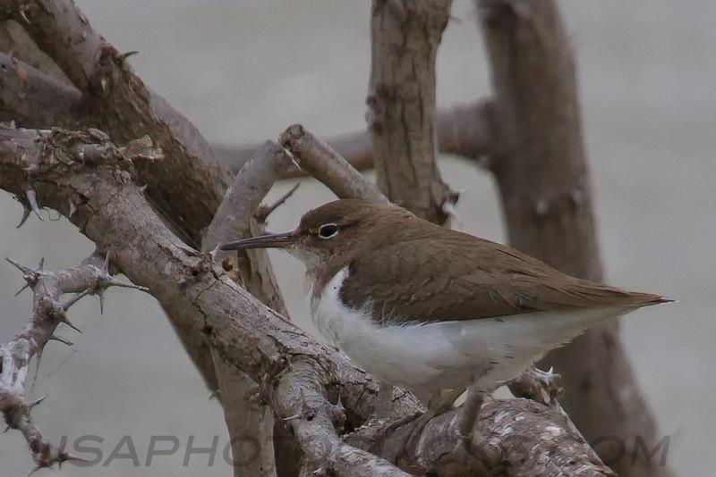 Spotted Sandpiper (b1902)