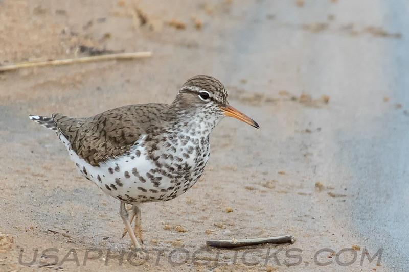 Spotted Sandpiper (b195)