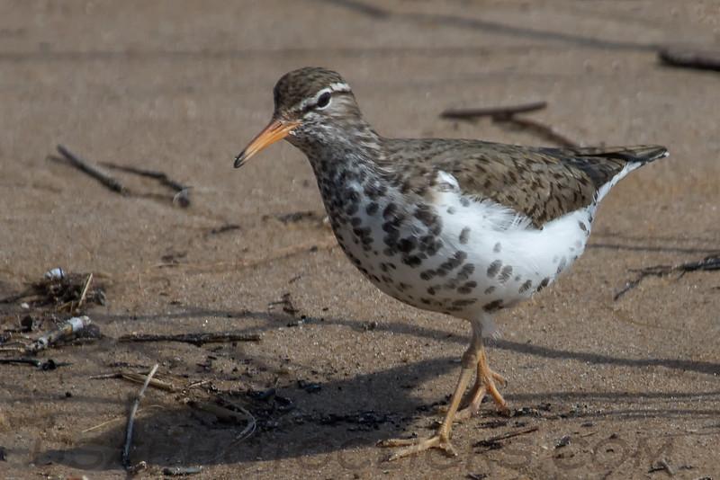 Spotted Sandpiper (b193)