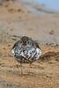 Spotted Sandpiper (b194)