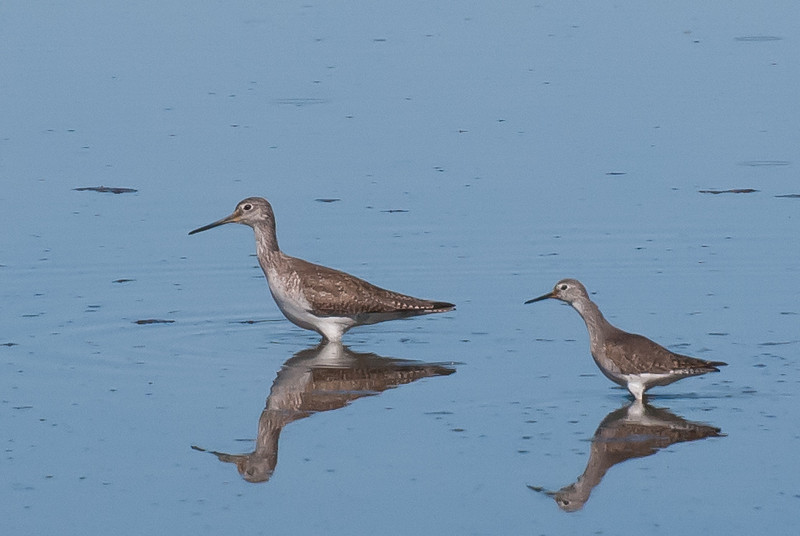 Greater and Lesser Yellowlegs. Or, is this a Greater adult and a 1st year Greater? Image taken in February.
