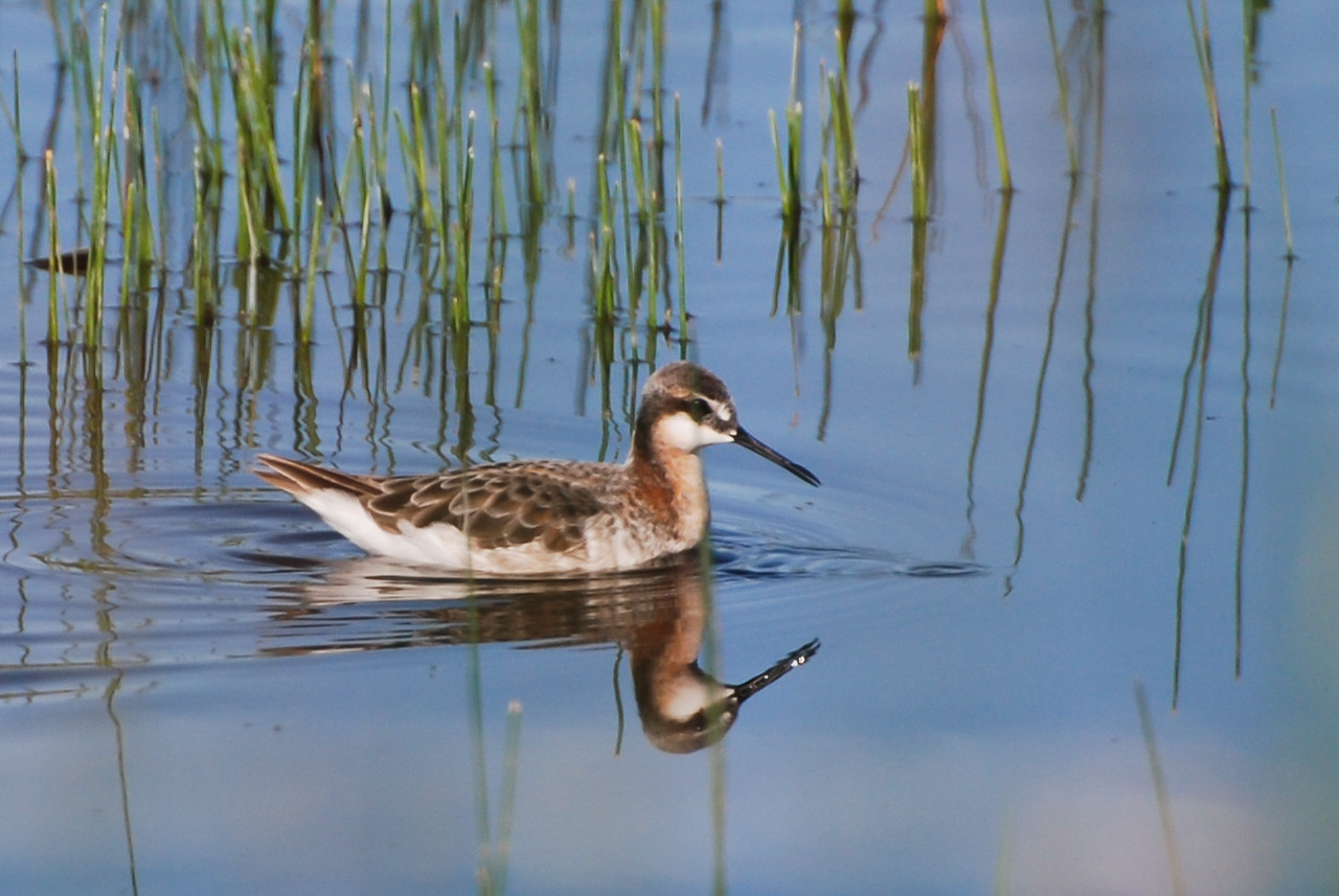 Wilson's Phalarope, Toppenish Creek, Washington. In Phalarope's, except for egg laying, the roles of the sexes is reversed from that of most species.The female has the colorful plumage and the male is rather drab. The female lays the eggs and leaves the male to incubate and raise the chicks.