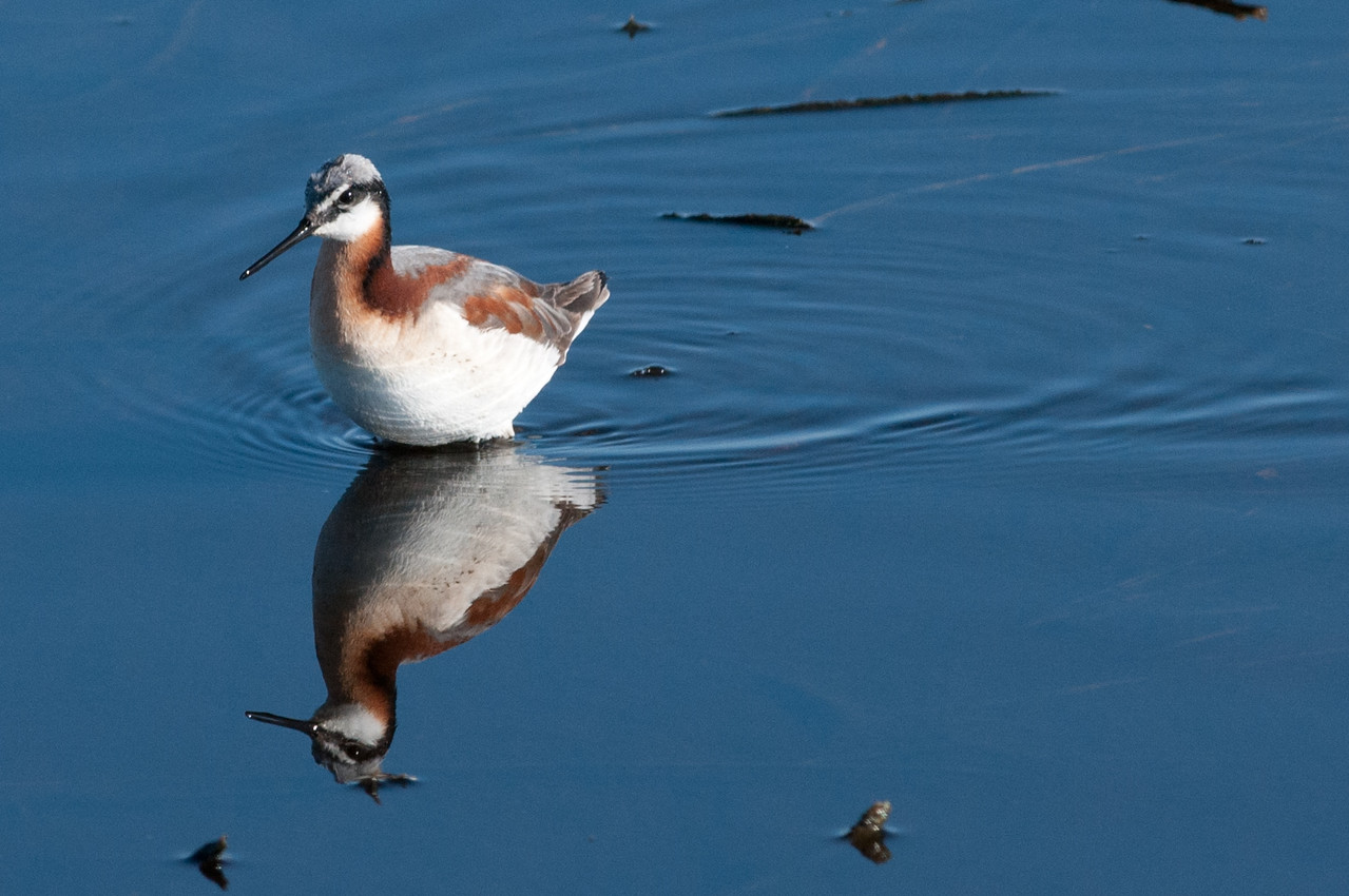 Wilson's Phalarope, female. In Phalarope's, except for egg laying, the roles of the sexes are reversed from that of most species.The female has the colorful plumage and the male is rather drab. The female lays the eggs and leaves the male to incubate and raise the chicks.