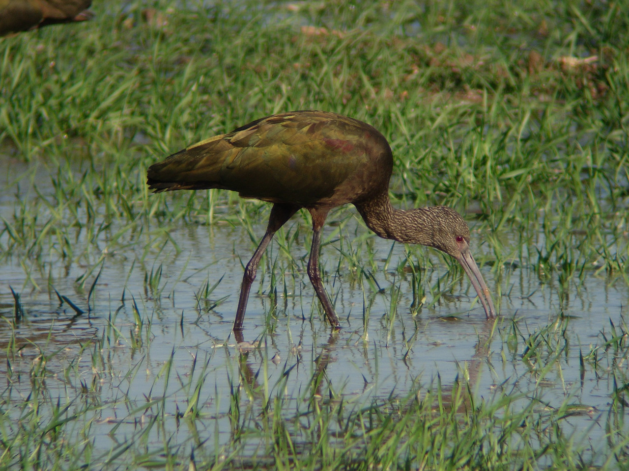 White-faced Ibis, Winter, So. California. Note the lack of a white face.