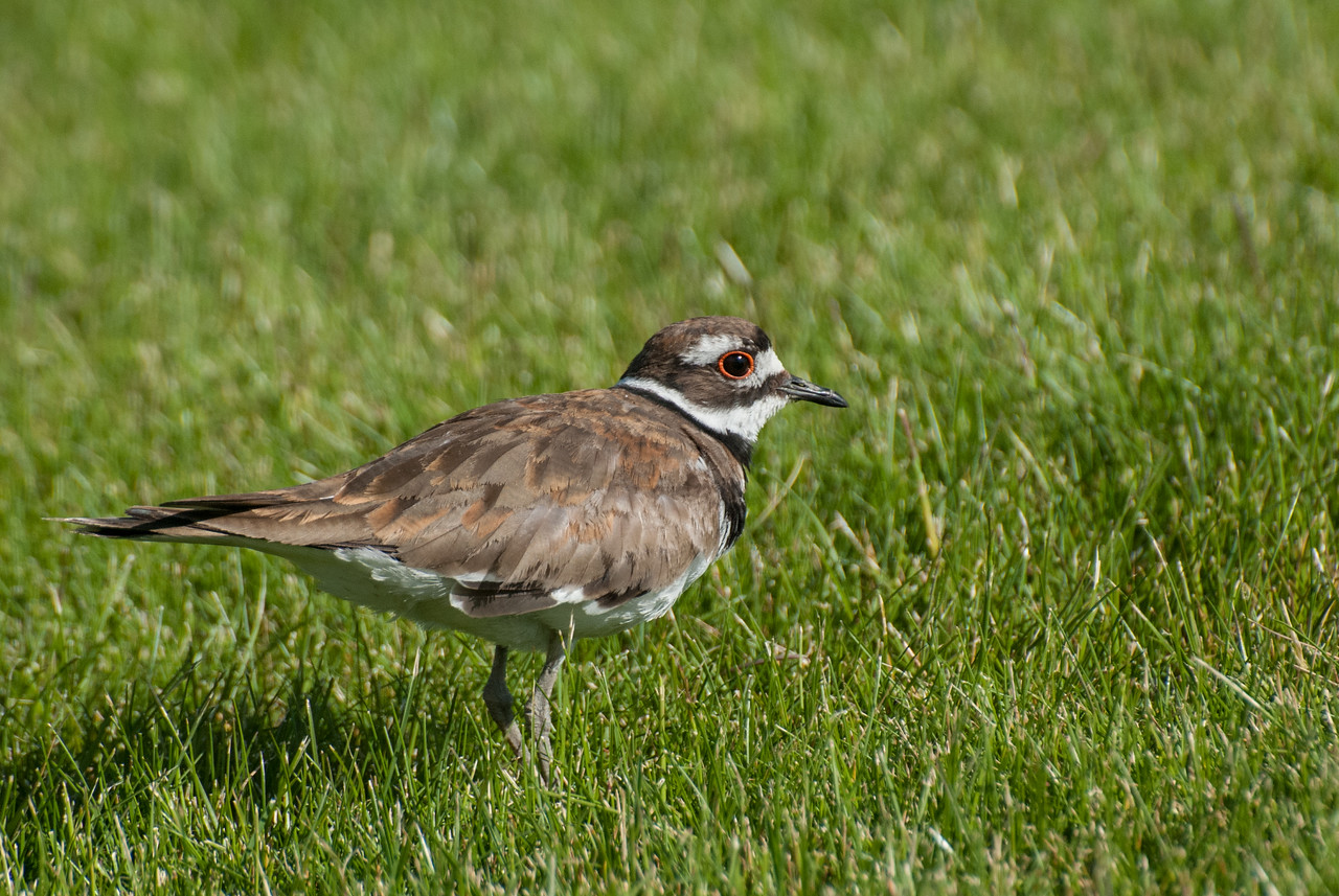 Kildeer - Juvie