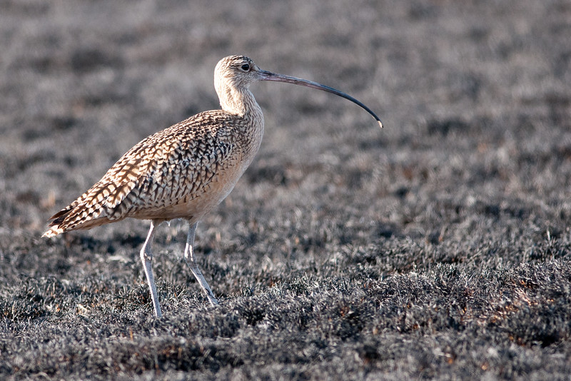 Long-billed Curlew grazing a recently burned Burmuda Grass hayfield in So. California.