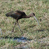 White-faced Ibis, Winter bird with not white on face.